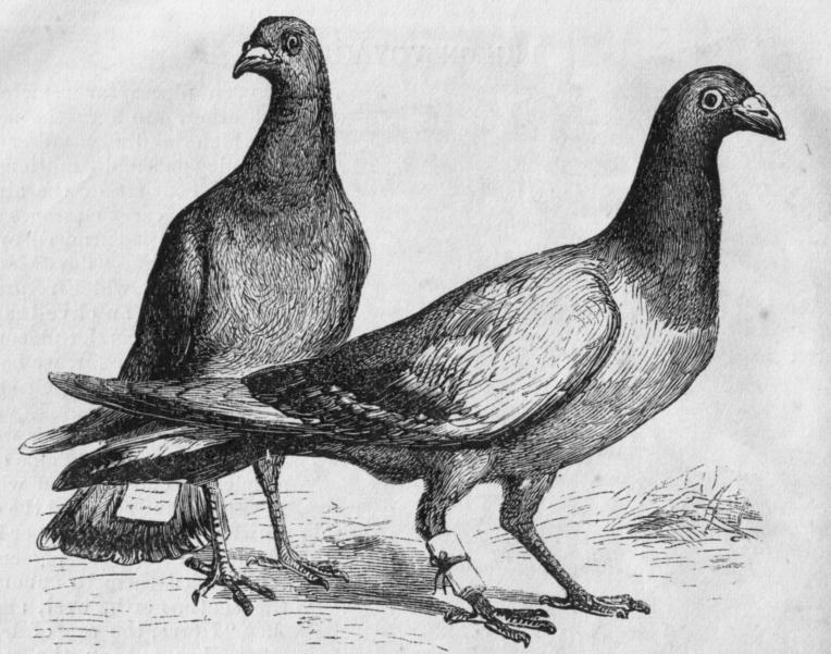 Pigeon_Messengers_(Harper's_Engraving)